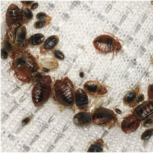 Bed Bugs Removal in Maidstone