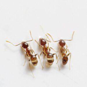Garden Ant Pest Control in Maidstone