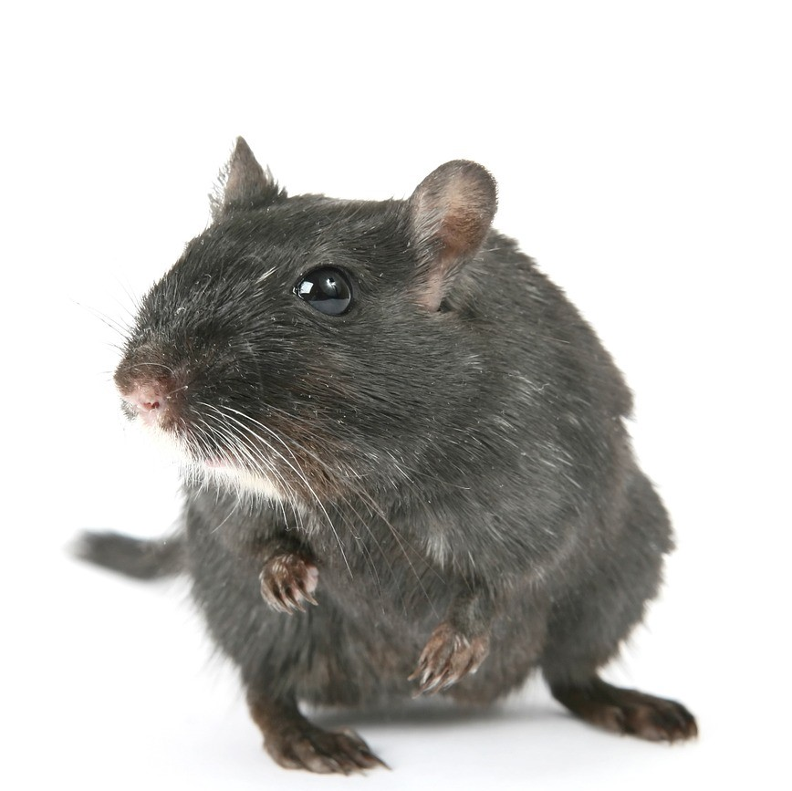 Rodent Rat and Mice Control in Maidstone