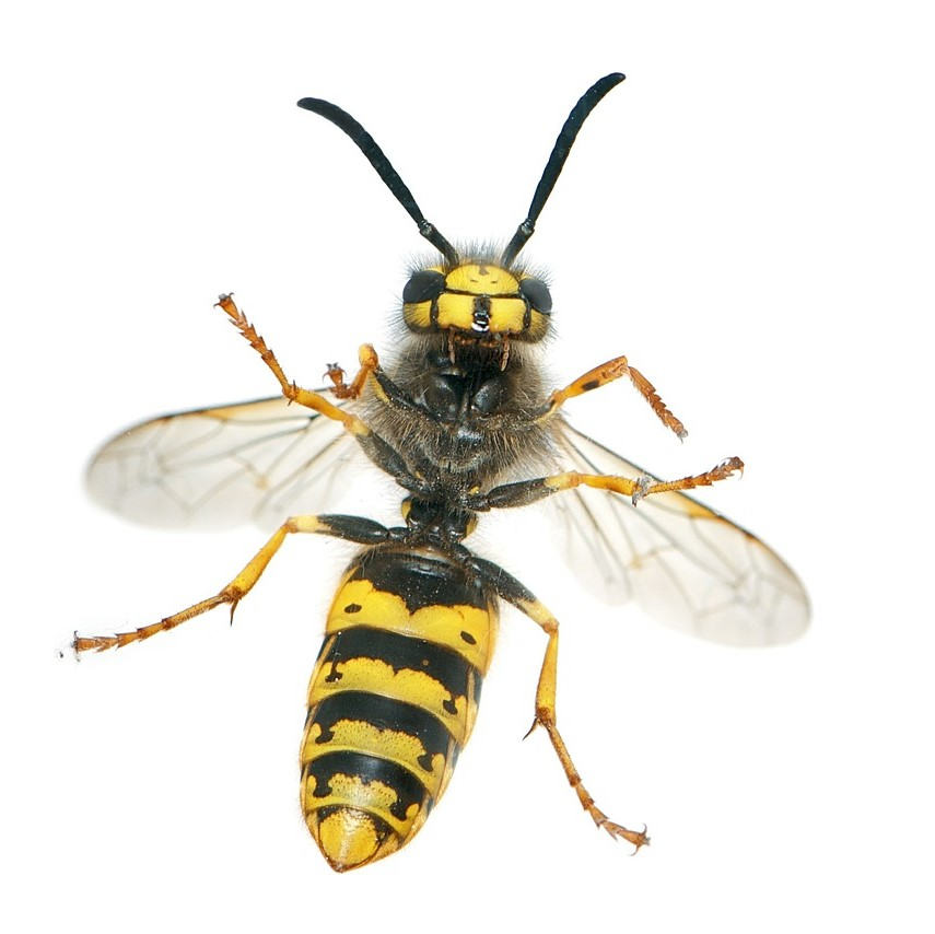 Wasp Nest Removal in Maidstone