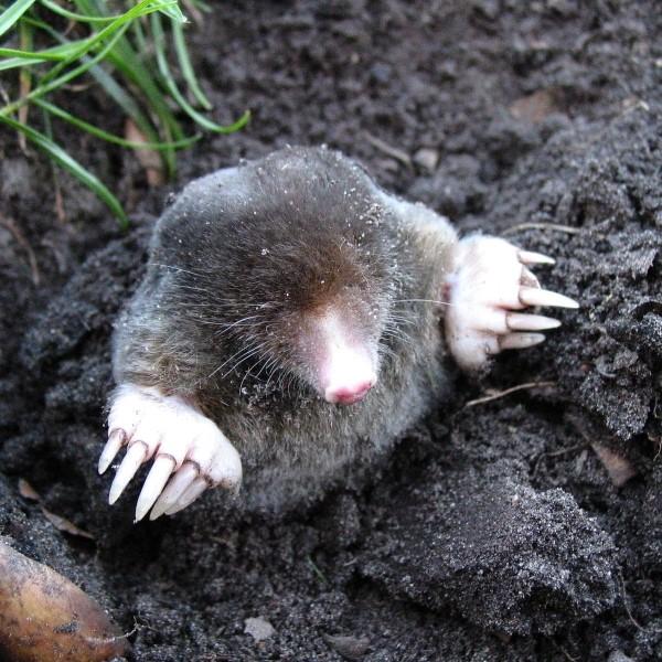 Mole Pest Control services in Maidstone